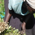 Teresa Amyel Pajok harvesting groundnuts in he garden